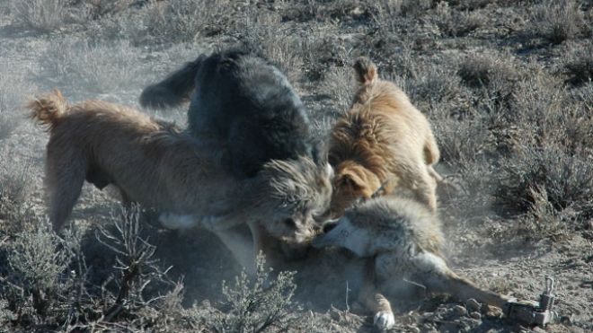 This photo, provided by Gary Strader, shows three dogs attacking a trapped coyote allegedly as part of his work for the USDA's Wildlife Services. (Photo: Gary Strader)