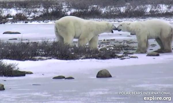 polar-bear-cam-6